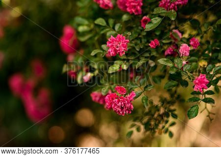 Flowering Branch Of Plant With Green Leaves And Bright Pink Flowers