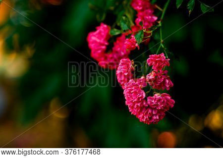 Close-up Of Flowering Branch Of Pink Roses