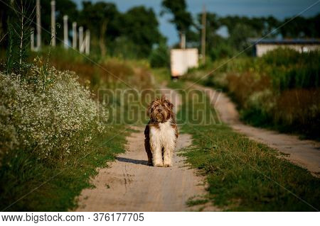 View On Shaggy Dog Which Stands On Path In The Field.
