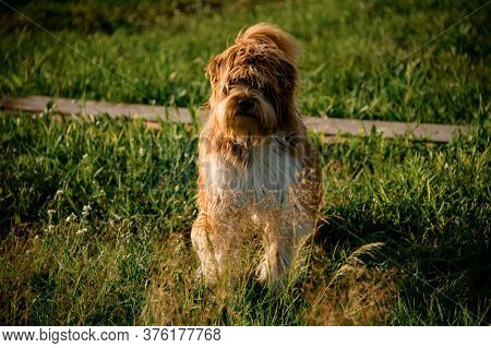 Shaggy Dog Stands On The Green Grass In The Park