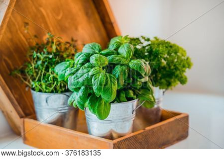 Organic, Homegrown Basil, Parsley And Thyme Herbs In Pots On The Kitchen In Wooden Tray Planter. Hom