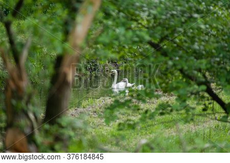 Selective Focus Shot Of White Swans Swimming In A Pond In The Forest