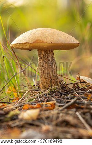 Birch bolete mushroom in the grass in autumn forest