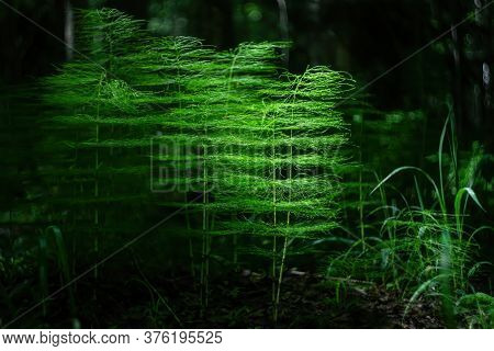Dark Forest Scene Of An Equisetum Sylvaticum Also Known As Wood Horsetail Illuminated By A Thin Ray