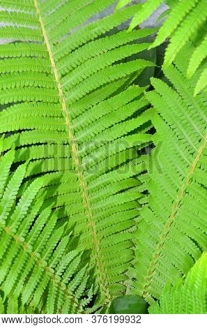Leaves Of Fern Growing On A Flower Bed.