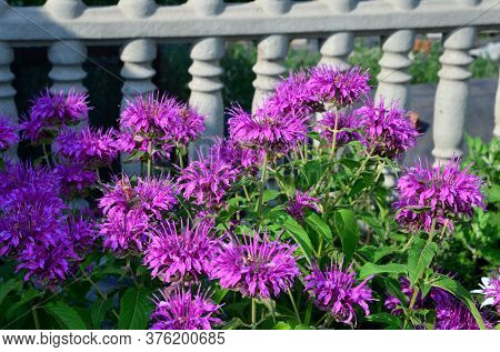 Purple Flowers On A Background Of Concrete Molded Fence.
