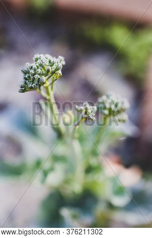 Close-up Of Broccolini Plant Outdoor In Sunny Backyard Shot At Shallow Depth Of Field