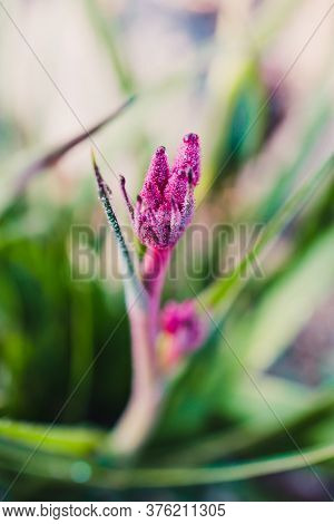 Native Australian Kangaroo Paw Plant Outdoor In Sunny Backyard Shot At Shallow Depth Of Field