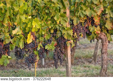 Ripe Merlot Grapes Lit By Warm Late Sunshine, In Vineyard. Saint Emilion, Gironde, Aquitaine. France
