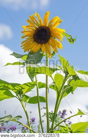 Vibrant Tall Yellow Sunflower With Black Seeded Stamen In Full Bloom, Against A Natural Pale Blue Cl