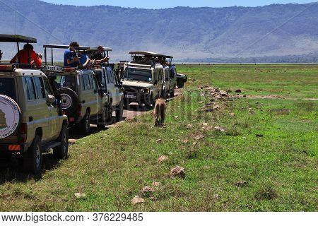 Ngorongoro / Tanzania - 06 Jan 2017: Lions On Safari In Kenia And Tanzania, Africa