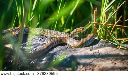 Close Up Of Caspian Whipsnake Lying In The Sun