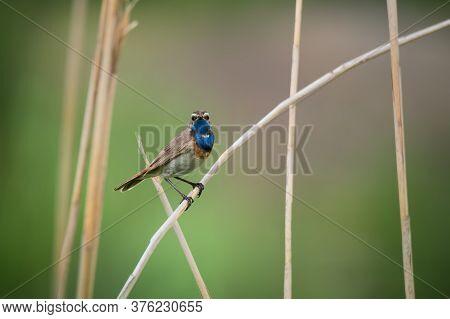 Beautiful Bluethroat Bird Sits On A Reed