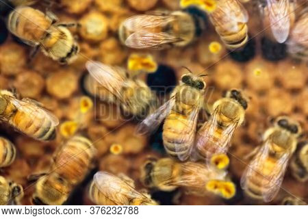 Close-up Of Busy And Hectic Life Of Honey Bees Feeding Their Young Generations On The Honeycomb In T