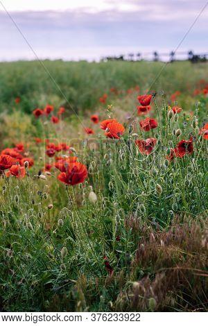 Red Poppy Flowers In Meadow. Flowers In Meadow In Sunset. Beautiful Flowers In Meadow. Colorful Popp