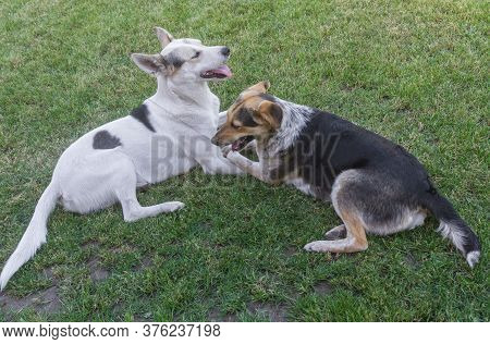 Pair Of Young Cross-breed Happy Stray Dogs Lying On A Spring Grass In Park