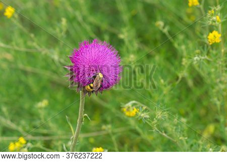 Big Lonely  Wasp Sucking Nectar On A Thistle Flower In Summer Ukrainian Meadow