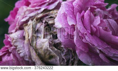 Withered Rose. Pink Rose. Floral Background. Rose.