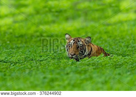 Wild Tiger On A Rainy Day In Natural Green Forest During Monsoon Season Safari At Ranthambore Nation