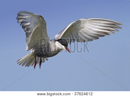 A whiskered tern in flight
