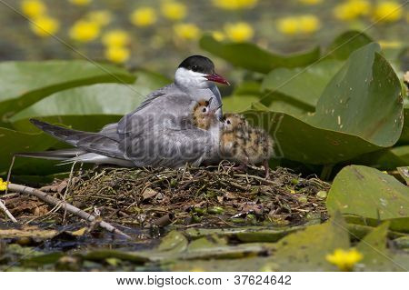 Whiskered tern ( Chlidonias hybridus ) standing on the water lilly