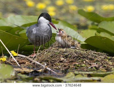 Whiskered tern standing on the water lilly and feeding chicks