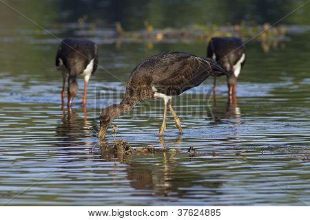 Black storks looking for food