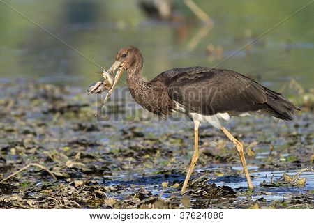 Juvenile black stork with beautiful huge pike