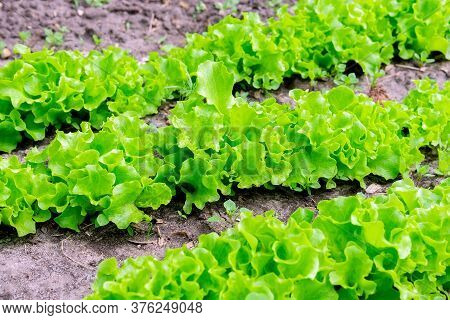 Organic Green Lettuce Plants Or Salad Vegetable Cultivation. Concept Of Healthy Eating. Farming. Foo