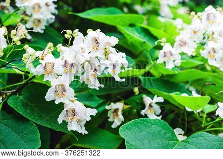 Lots Of White Flowers On The Inflorescence On The Catalpa Tree In A Garden Close Up - Horizontal Pho