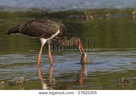 black storks successful hunt