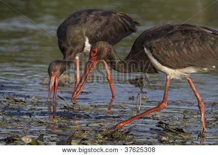 hunting pair of black storks