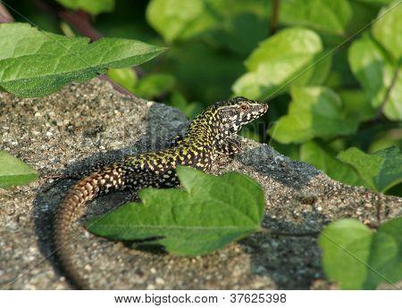 Italian Fence Lizard