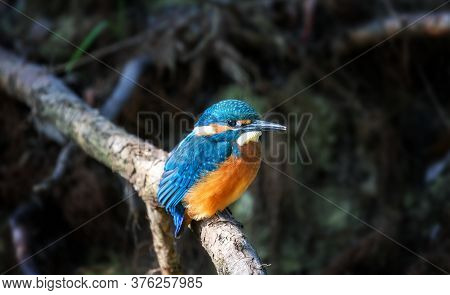 Juvenile Common Kingfisher (alcedo Atthis) Perching On A Branch On Its First Day Outside The Nest Du