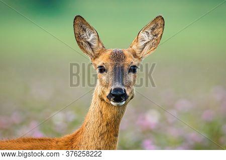 Roe Deer Doe Standing On Meadow Looking To The Camera.