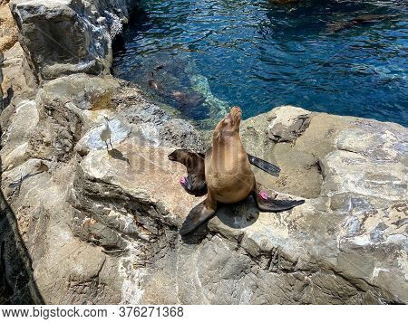 Orlando, Fl/usa-7/12/20: A Mother And Pup Sea Lion Resting On A Rock  At The Pacific Point Preserve