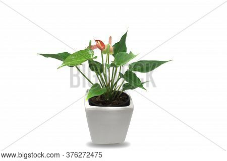 Spadix Red Anthurium In The Pots Of Isolated On White Background