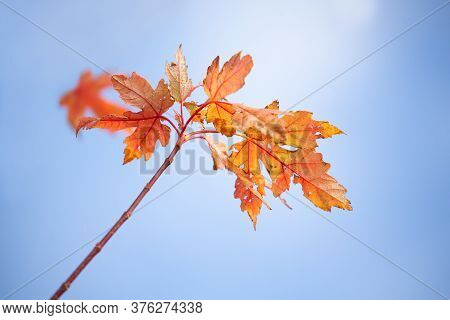 Autumns Colourful Decay Into Winter Hibernation.  Maple Leaves