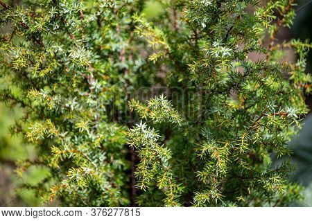 Botanical Collection Of Medicinal Plants And Herbs, Juniperus Communis Or Common Juniper Conifer Shr