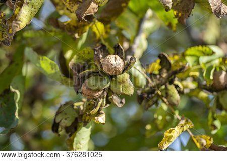 Branch Of Ripe Open Walnuts On Tree In Garden. Growing Walnuts On The Branch Of A Walnut Tree In Fru