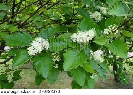 Compound Inflorescences Of Sorbus Aria In Mid May
