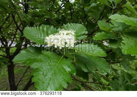 Corymb Of White Flowers Of Sorbus Aria In May