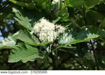 Five Petaled White Flowers Of Sorbus Aria In Mid May