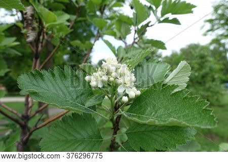 Flowers And Buds Of Sorbus Aria In Mid May