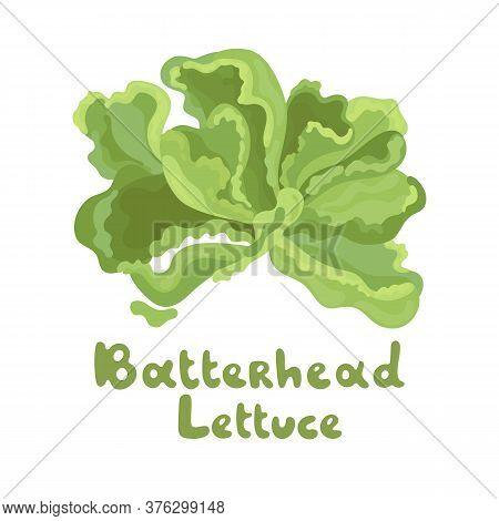 Butterhead Vector Icon. Cartoon Vector Image Isolated On White Background. Illustration With The Ins