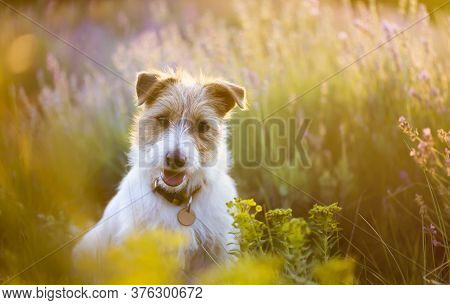 Smiling Happy Jack Russell Terrier Pet Dog Puppy Sitting In The Lavender Field With Flowers In Summe