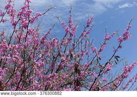 Flowering Branches Of Cercis Canadensis Against Blue Sky In April