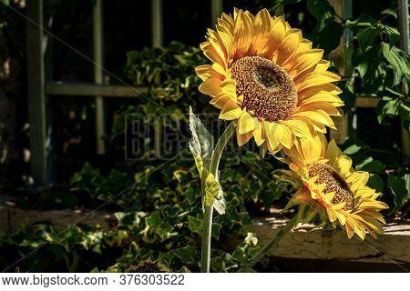 Closeup Fo Two Sunflower Flowers (helianthus), In A Garden