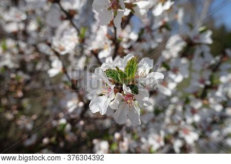 Couple Of White Flowers Of Prunus Tomentosa In April