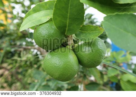 Complete Lime , Ready For Harvesting In The Graden